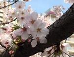 109-桜.JPG