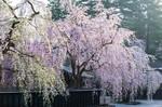 121-しだれ桜.jpg