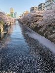 121-目黒川桜.jpeg
