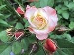 122-薔薇.jpg